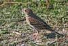 Vesper Sparrow: Ridgefield NWR, WA (10-08)
