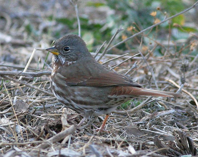 Fox Sparrow (Slate colored)