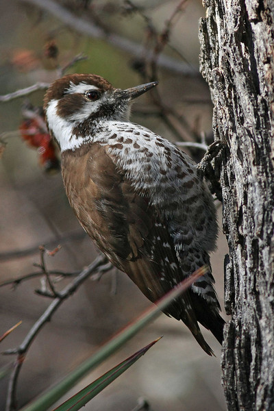 Arizona Woodpecker : Madera Canyon, AZ (January,2009)