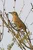 Bendire's Thrasher: Near Phoenix, AZ (February, 2009)