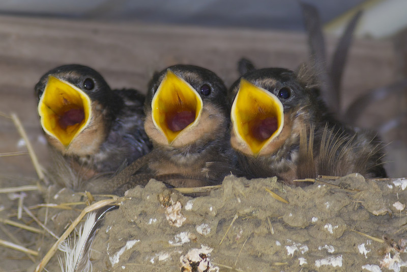 """O say can you see""  Barn Swallow babies: Ridgefield NWR (July, 2011)"