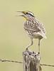 Eastern Meadowlark: Los Fresnos, Texas (3-20-15)