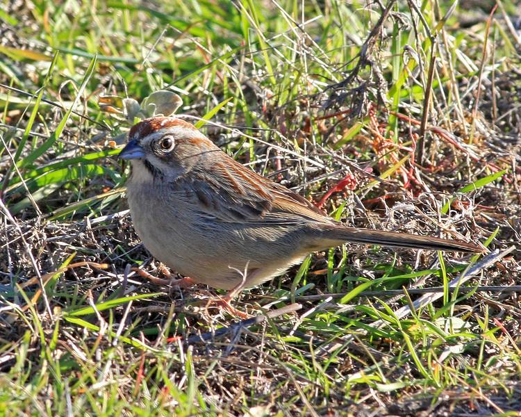 Rufous-crowned Sparrow.  Taken at Murrieta, CA