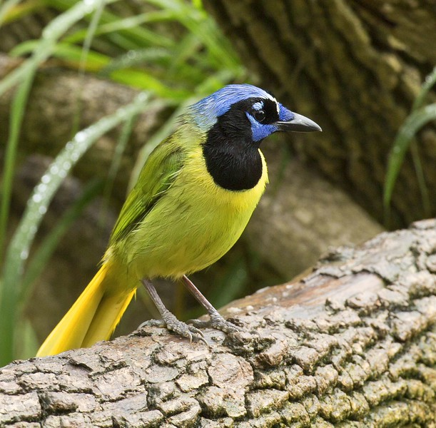 Green Jay: Bentsen Wild Bird Center near Mission,Texas (3-18-15)