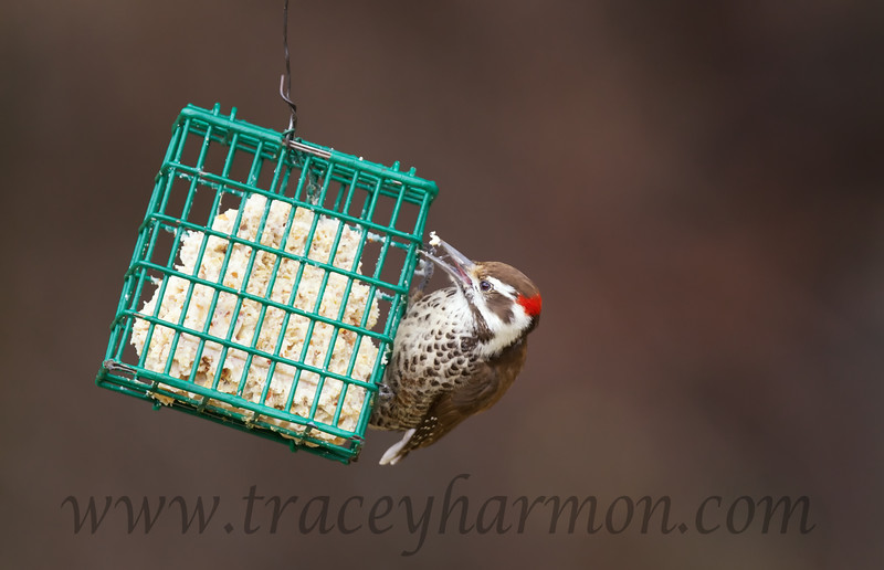 A male Arizona Woodpecker feeds on suet at the Santa Rita Lodge in Madera Canyon, Arizona.