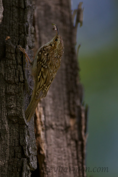 More food on it's way to this Brown Creeper's nestlings.