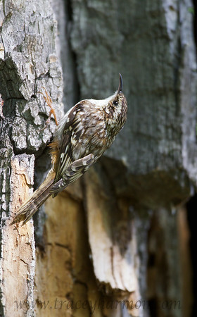 Note the stiff tail feathers which this Brown Creeper uses to stabilize itself as it hops up the bole of a tree in search of it's next meal.