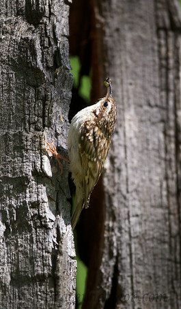 Brown Creeper with food for it's nestlings.