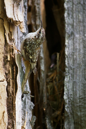 You can see this Brown Creeper's nest, which is located under a slab of loose bark on a Cottonwood Tree.