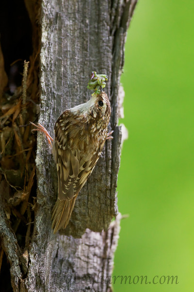 This little Brown Creeper, and it's mate, were delivering beak-fulls of insects, worms, spiders, and more every few minutes to their nestlings. Given the amount of food they were delivering they had a lot of nestlings, which isn't that uncommon for this species.