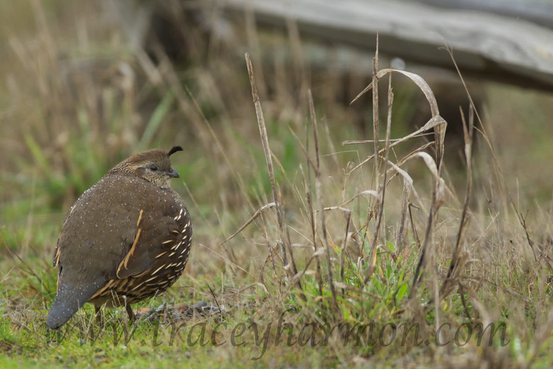 It was a blustery rainy day that I found this little California Quail hen, as you can tell by the water droplets on her back.
