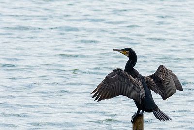 Cormorant at Carsington