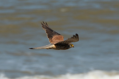 Male Common Kestrel in Happisburgh Norfolk side view