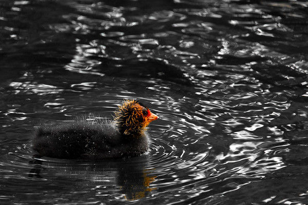 Coot chick on water