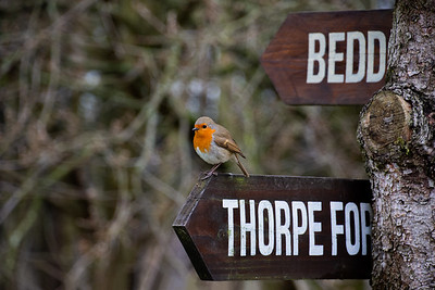 Robin Red Breast at Sherwood Pines