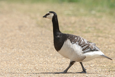 Barnacle goose out for a stroll
