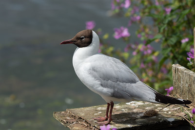 Black headed gull on watch