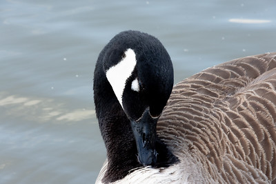 Canada goose cleaning