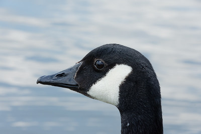 Canada goose head up close