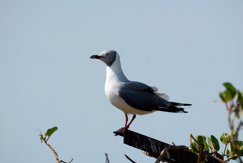 Gray Headed Gull, Bijol Island Gambia West Africa