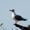 Gray Headed Gull, Bijol Island Gambia West Africa