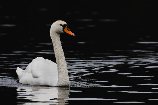 Swan on a black lake