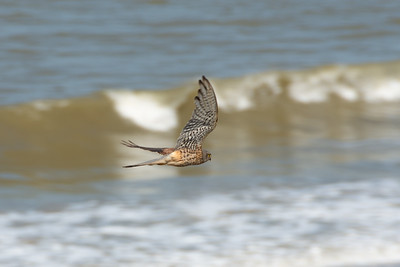 Male Common Kestrel in Happisburgh Norfolk underwing view