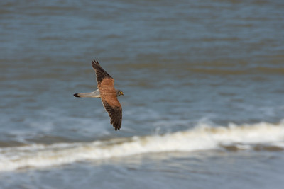 Male Common Kestrel in Happisburgh Norfolk top view