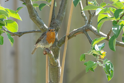 Robin on a broken branch