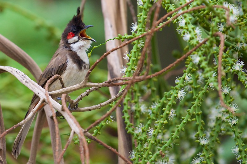 This bulbul also seem to have a nest somewhere in the garden next to my balcony. The sound of the bird singing helps me locate this bird and take pics.
