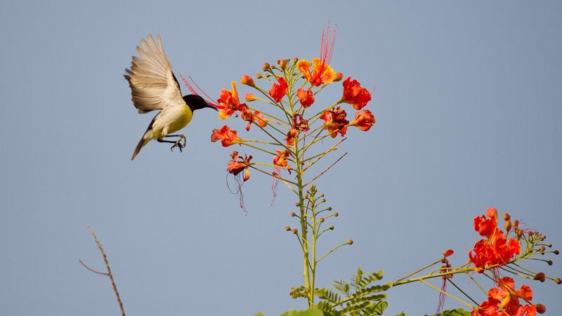 Little sunbird drinking nectar.