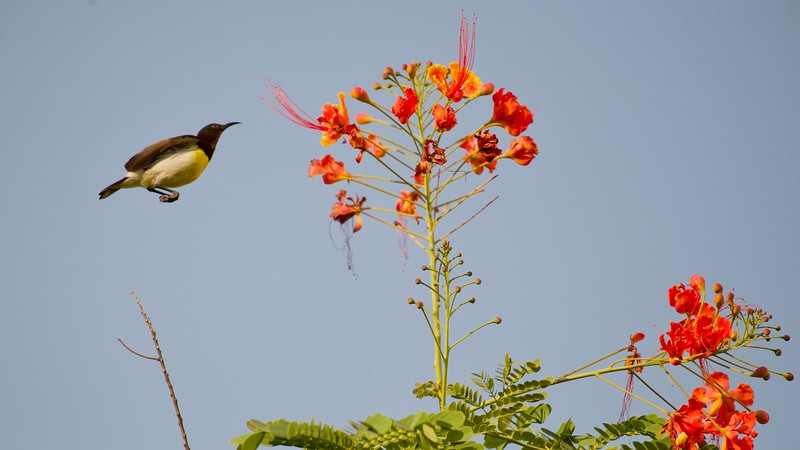 The little sunbird decide to drink the nectar from the flowers.