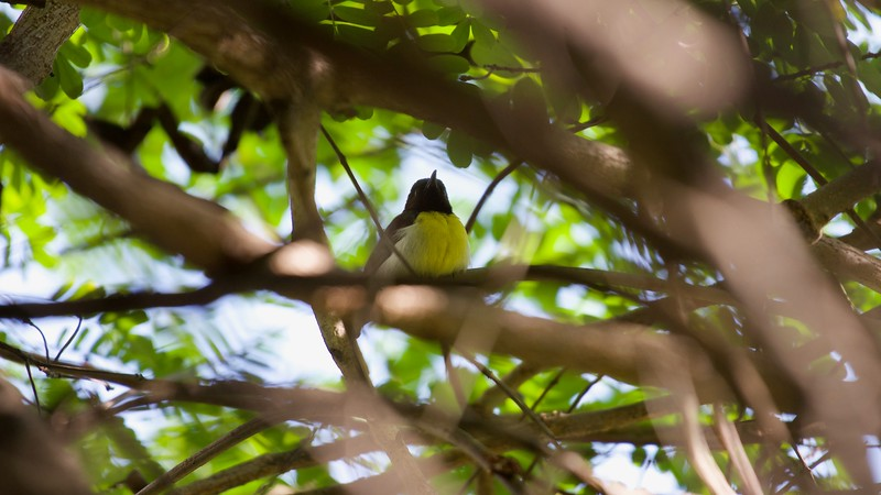 Little Sunbird