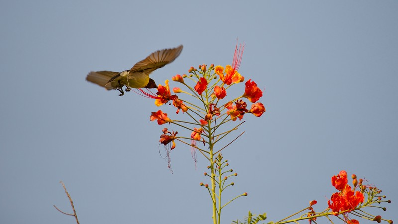 Little sunbird drinking nectar.