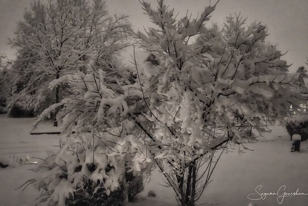 Snow covered Tree's