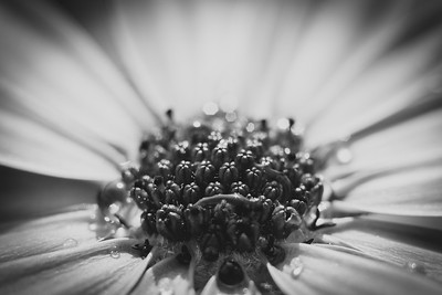 African daisy stigma close up in monochrome