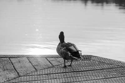 Evening Duck In Black and White