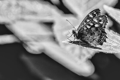 Ringlet Butterfly Black and White