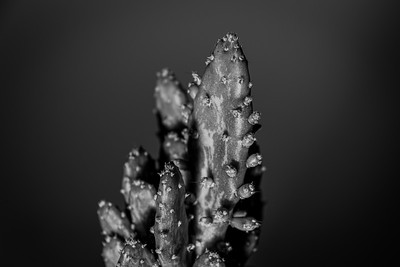 Prickly pear cactus in monochrome