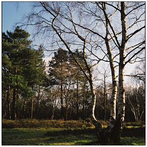 silver birch - shirley hills