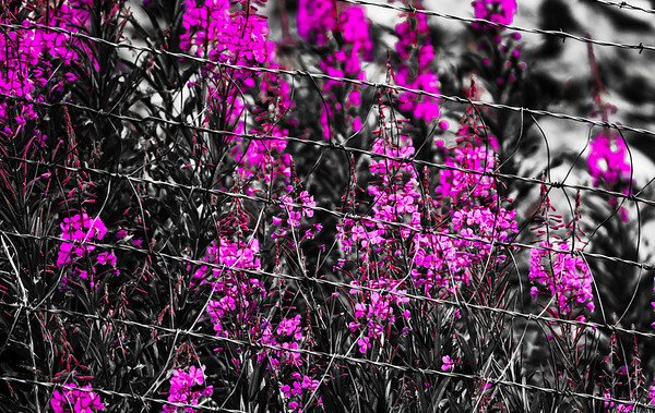 Barbed Beauty
