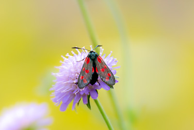 Five spot burnet moth on a purple flower