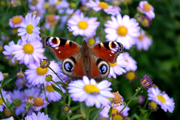 Peacock Butterfly Perched On The Daisies