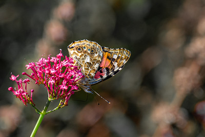 Painted Lady Butterfly with wings closed