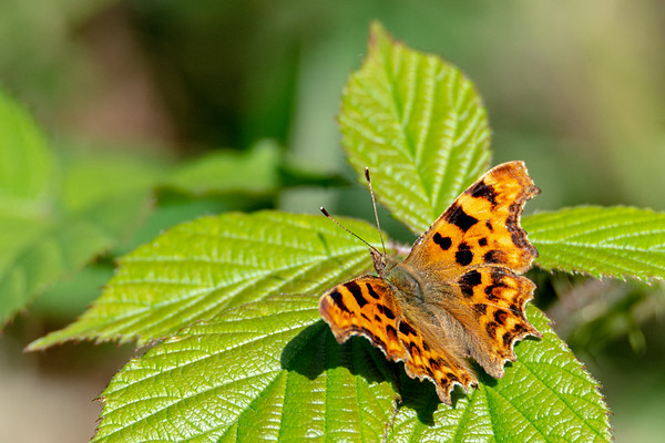 Comma butterfly sitting on a leaf