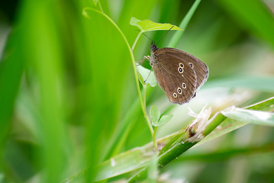 Ringlet Butterfly On Plant