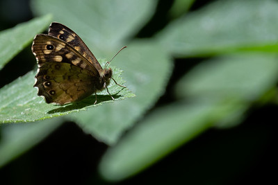 Ringlet butterfly perching on a leaf