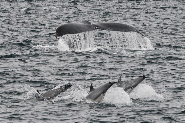 Humpback and Dolphin