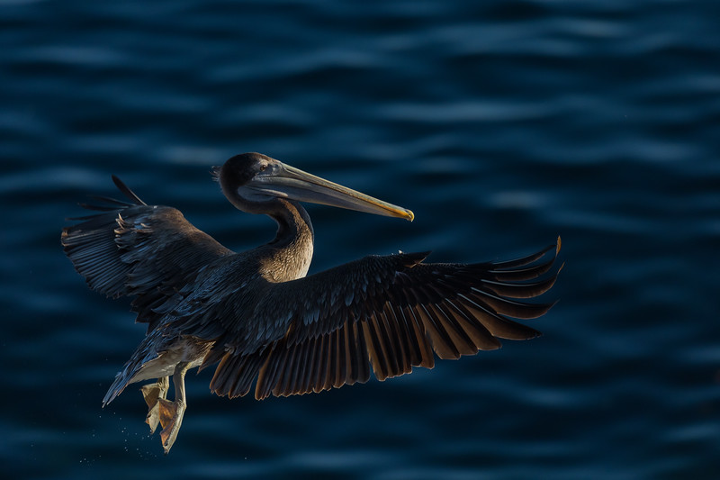 Immature Brown Pelican