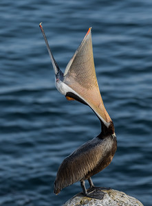 "California Brown Pelican ""Headthrow"""